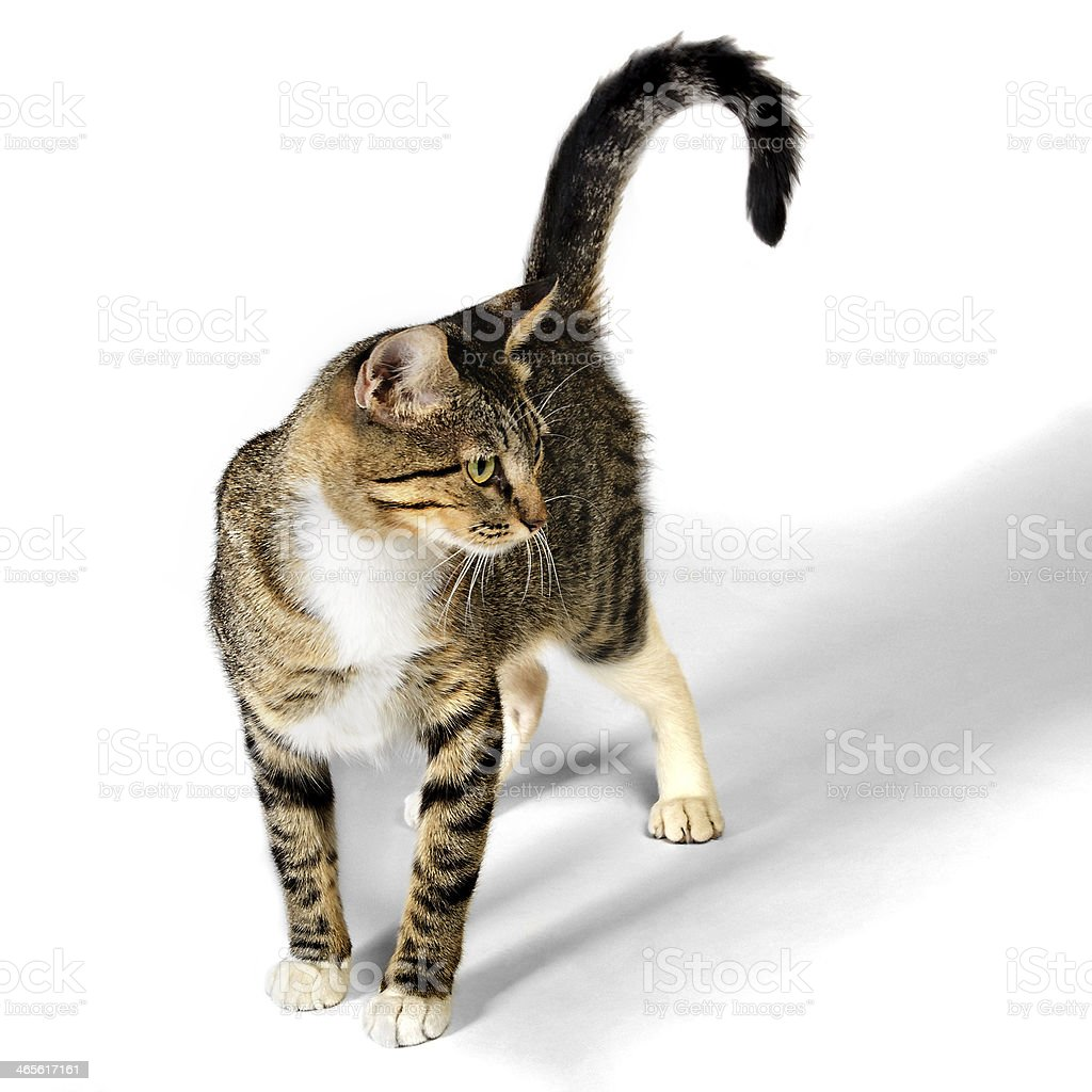 Young Brown Tabby Kitten Cat isolated on White Background stock photo