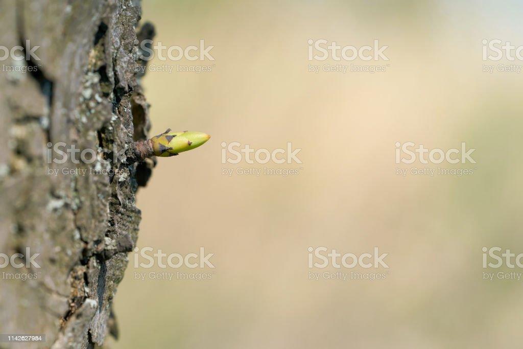 Junge Knospe auf einem Baum – Foto