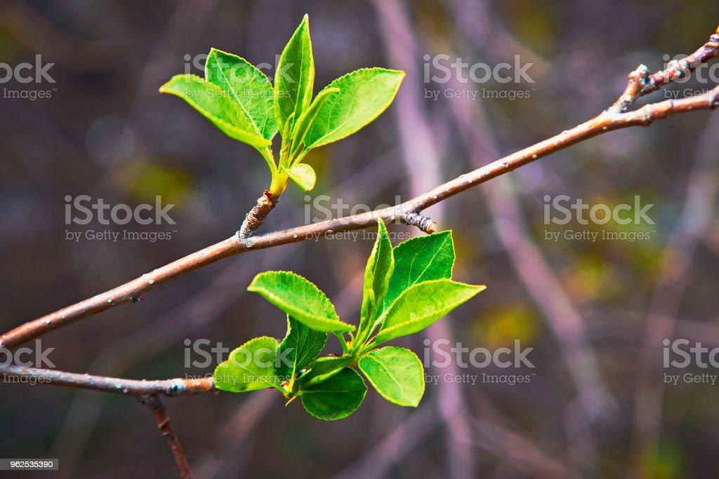 Brotamento jovens folhas na primavera - Foto de stock de Agricultura royalty-free