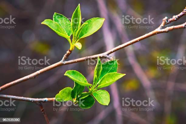 Foto de Brotamento Jovens Folhas Na Primavera e mais fotos de stock de Agricultura