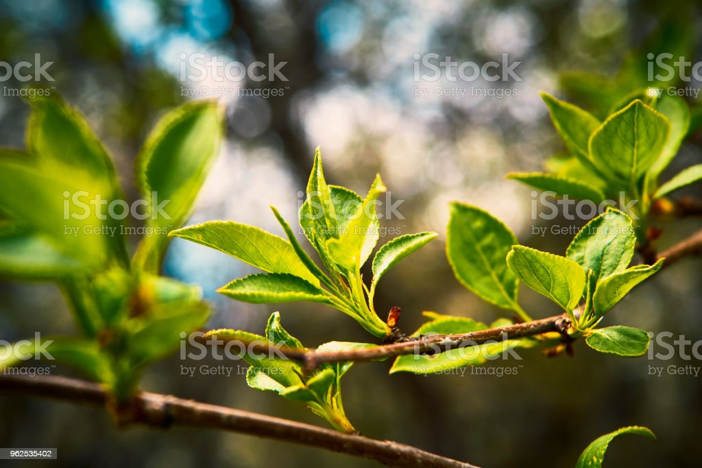 Young budding leaves in spring - Royalty-free Agriculture Stock Photo