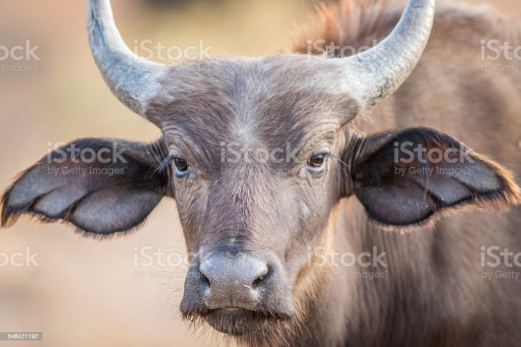 A young Buffalo starring at the camera. stock photo