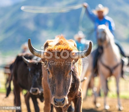 Close-up on a young bull, with a cowboy out of focus in the background, swinging a lasso rope to catch the bull.