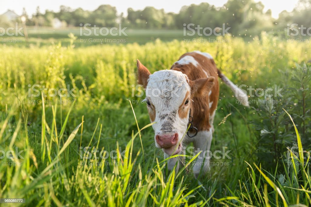Young bull chews grass on the meadow, flies fly around head, sunlight. Stories about rural life in Ukraine royalty-free stock photo