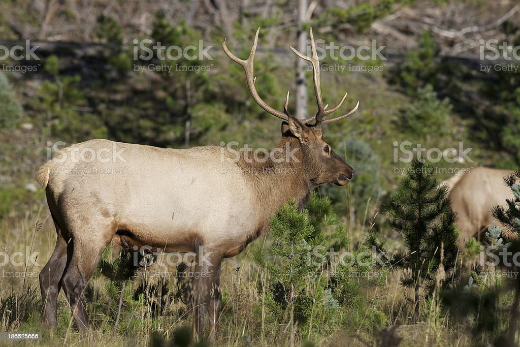 Young Bull Elk royalty-free stock photo