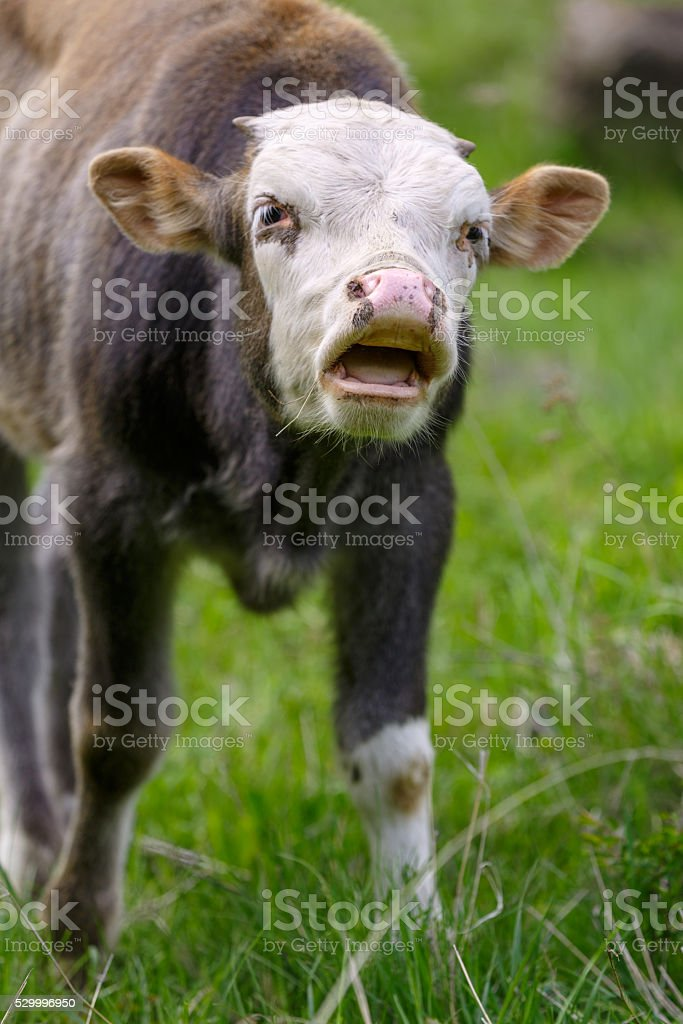 Young bull is mooing stock photo