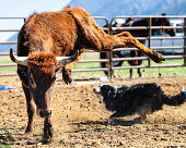 A young bull jumping in surprise as a farmer's dog runs around its hind legs.