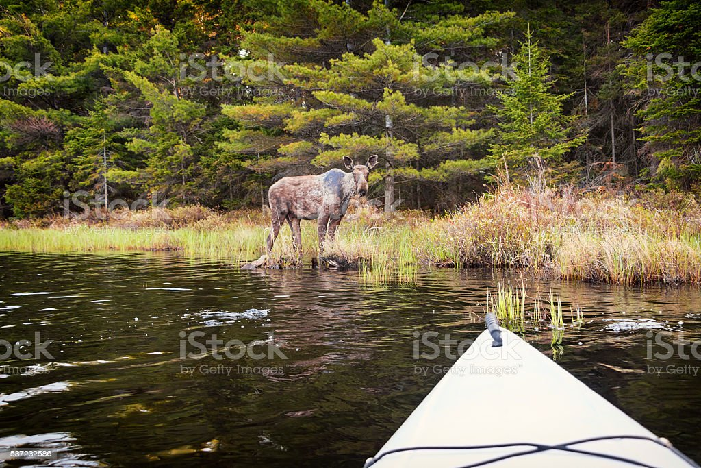 Young Bull Moose as Seen from a Kayak in Forest stock photo