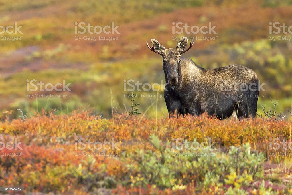 Young bull moose in autumn tundra of Denali Wilderness stock photo