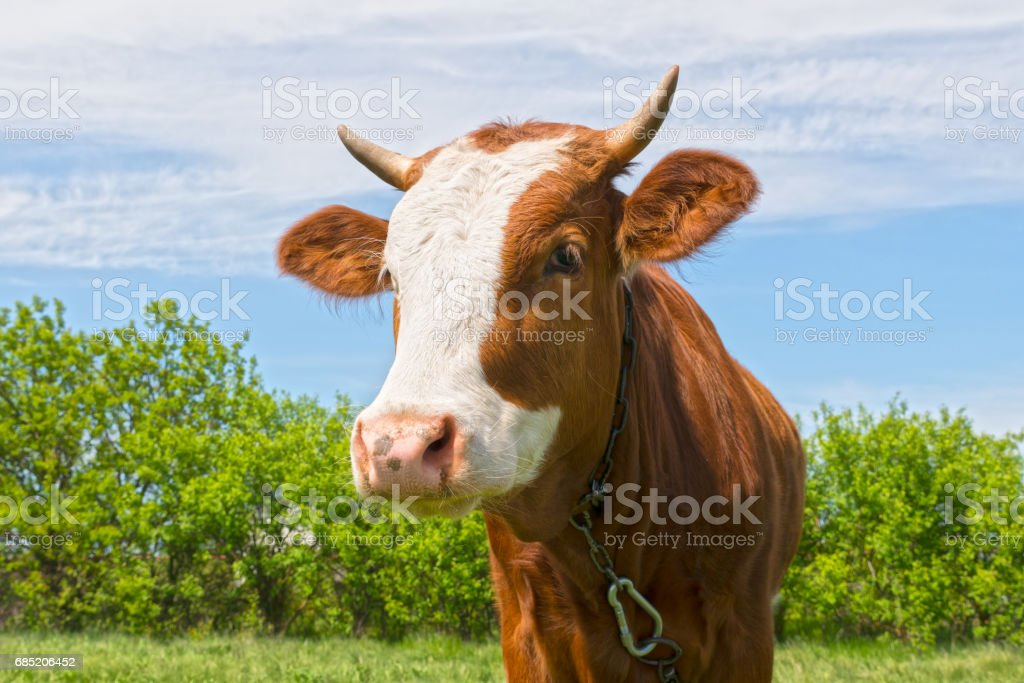Young bull outdoors royalty-free stock photo