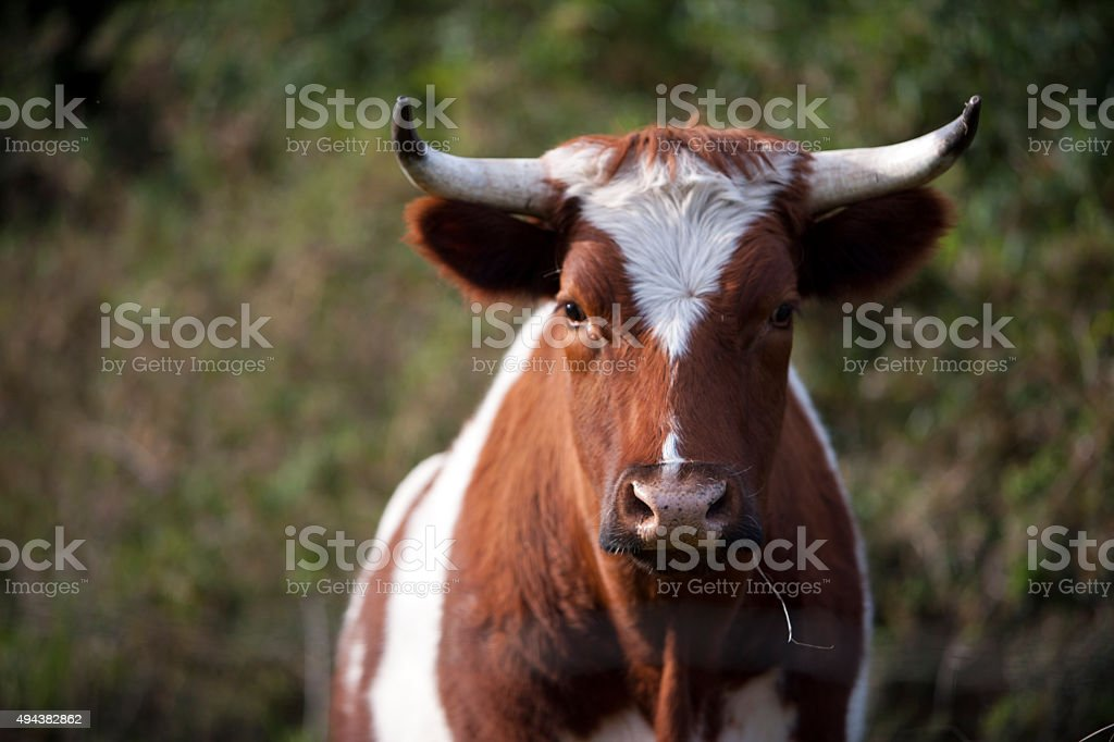 Young Bull stock photo
