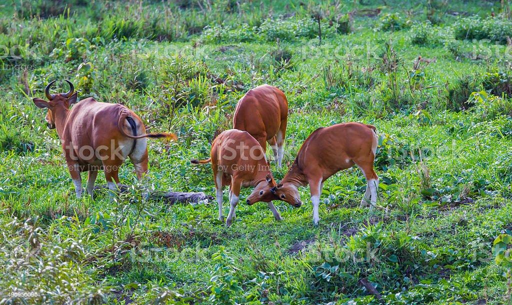 Young Banteng (Bos javanicus) stock photo