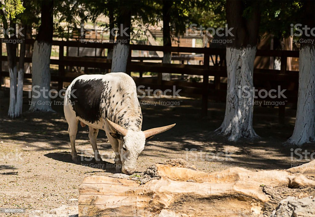 young bull Watussi white with a black spot on its side stands among the farms in the shade of trees - Royalty-free Agriculture Stock Photo