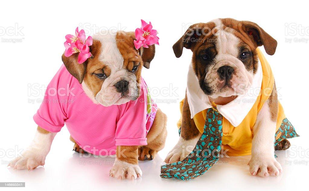 Young bulldog puppies dresses like humans stock photo