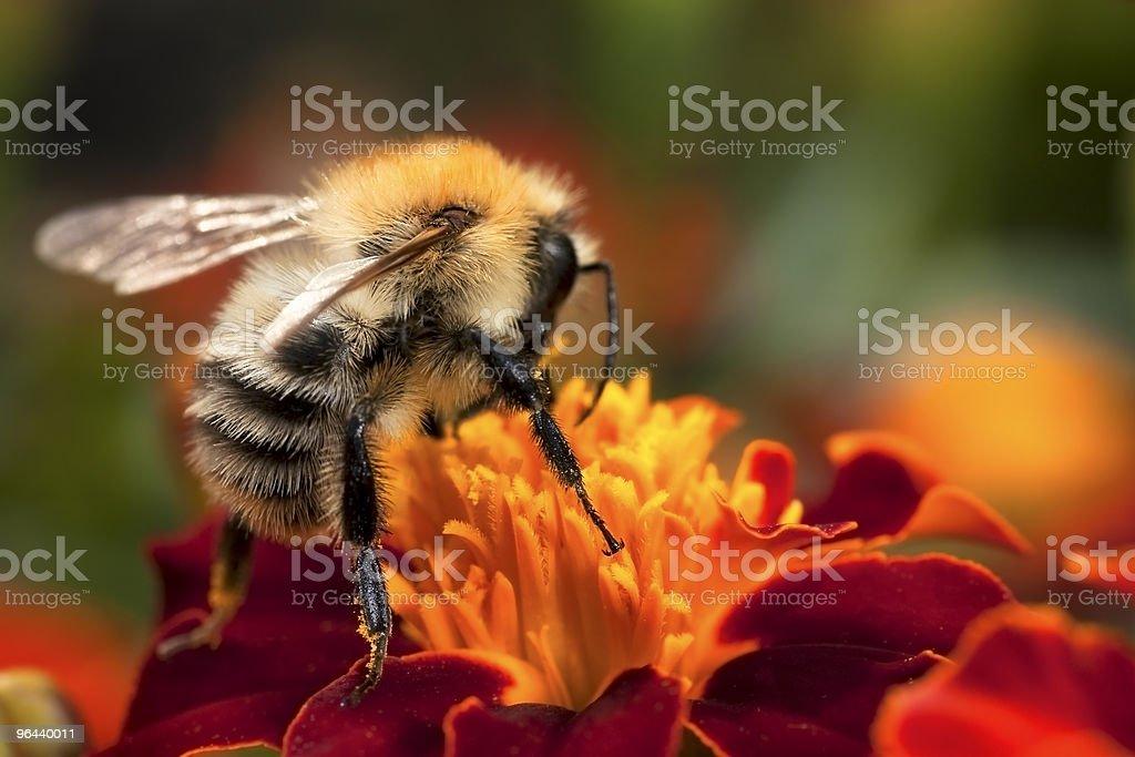 Jovem bumblebee no trabalho - Foto de stock de Abelha royalty-free