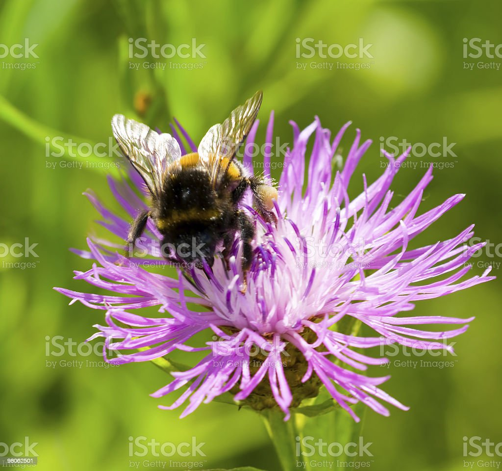 Young bumblebee on flower thistle royalty-free stock photo