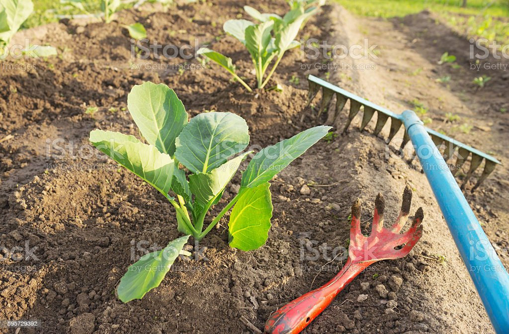 Young cabbage and garden tools stock photo