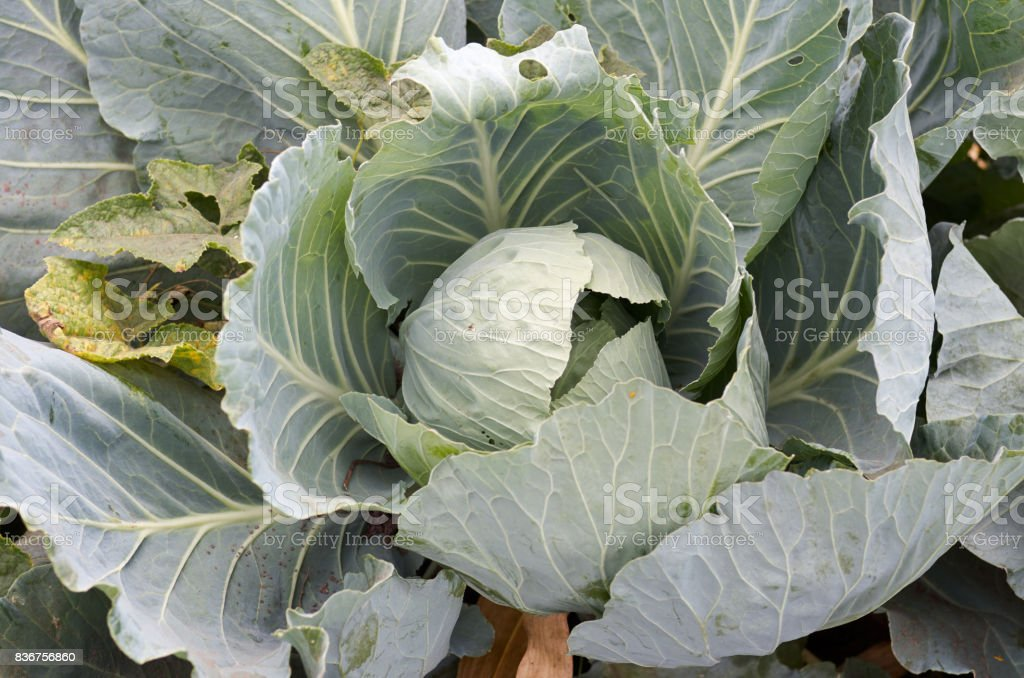 Young cabbage heads.Closeup fresh green cabbage in vegetable gar stock photo