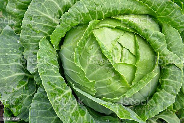 Young Cabbage In The Garden On A Path Stock Photo - Download Image Now