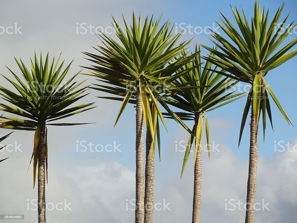 Young Cabbage Palm Trees Coromandel New Zealand stock photo