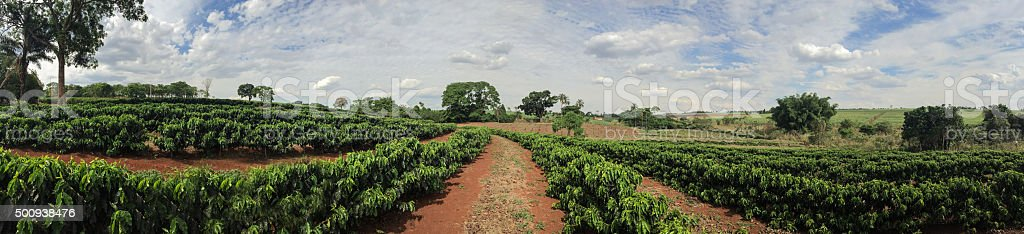 Young caffee plantation landscape farm stock photo