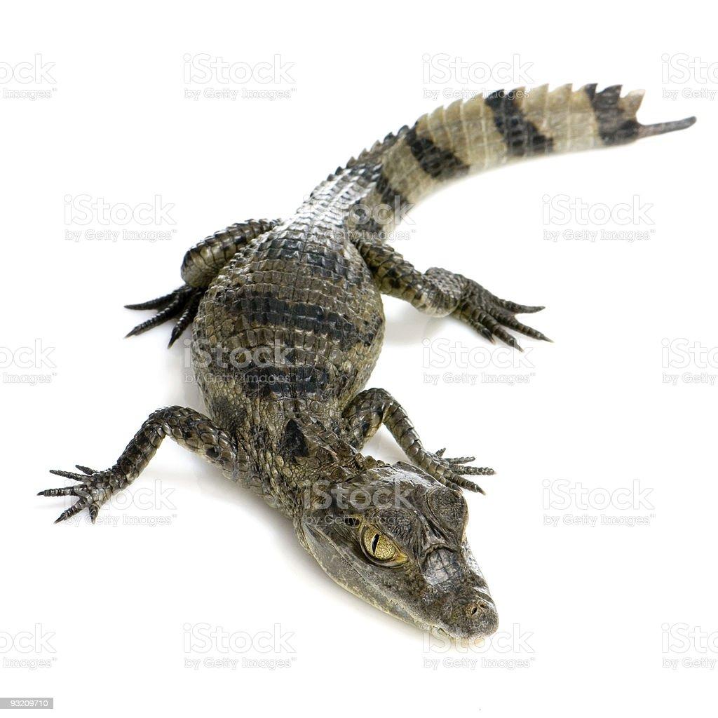 young Caiman crocodile stock photo