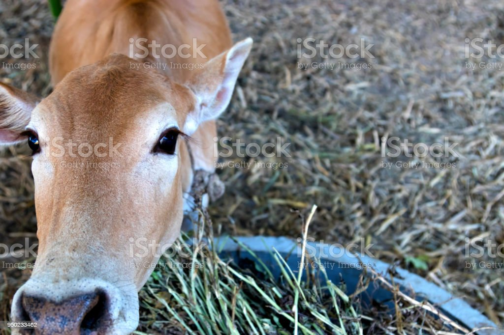 Young calf at agricultural farm. stock photo