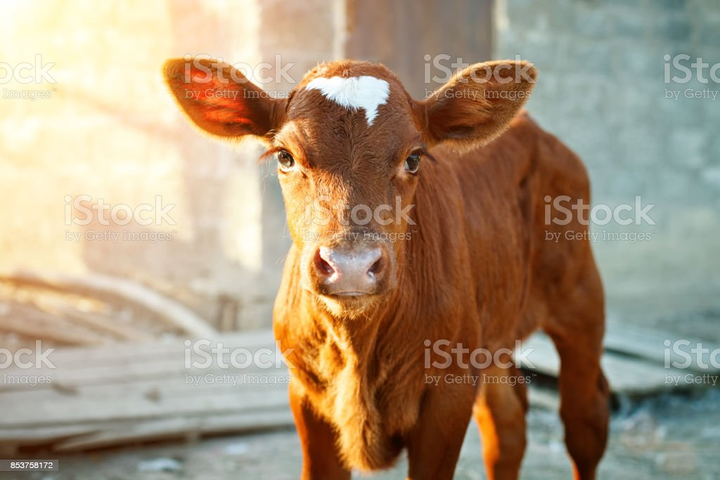 Young calf at an agricultural farm stock photo