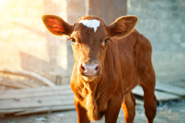 Young calf at an agricultural farm A young brown calf at an agricultural farm calf stock pictures, royalty-free photos & images