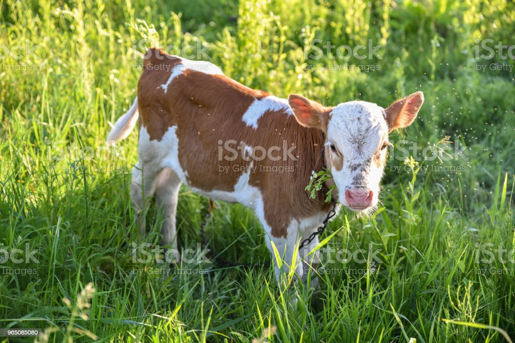 Young calf chews grass on the meadow, flies fly around head, sunlight. Stories about rural life in Ukraine royalty-free stock photo