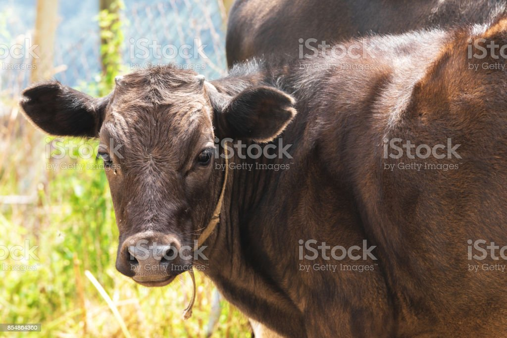 young calf close-up in the Caucasus stock photo