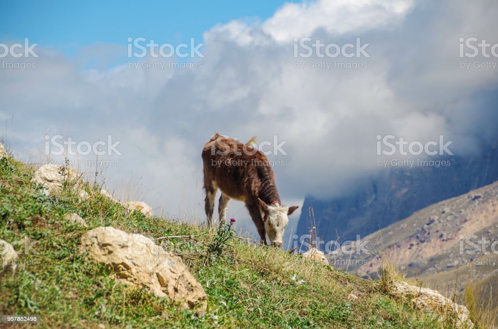 Young calf is grazed on montane grassland, alpine meadow. Height 2500 m above sea level. Nature and travel. Russia, North Caucasus, Dagestan stock photo