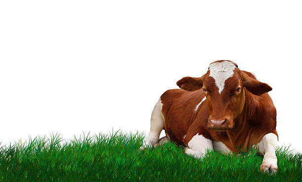Young calf lying on the grass. stock photo