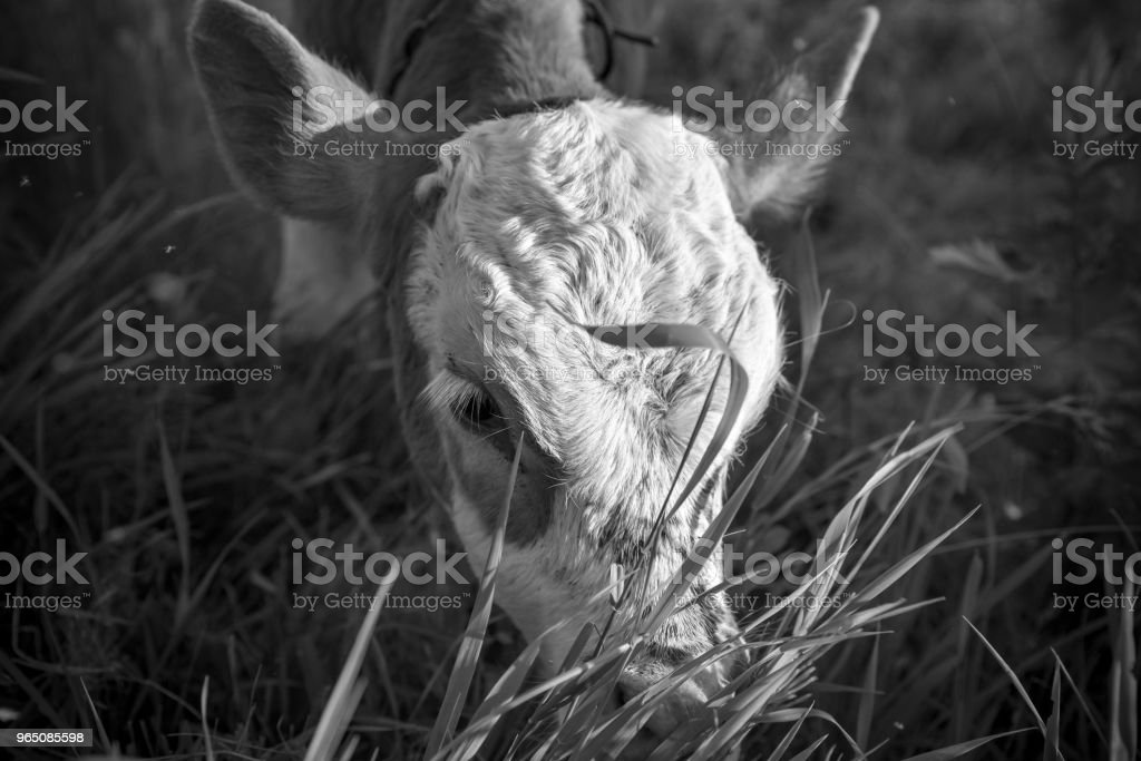 Young calf on the pasture, monochrome effect. Stories about rural life in Ukraine royalty-free stock photo