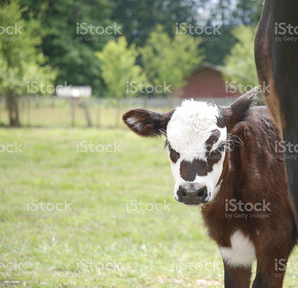 Giovane in vitello foto stock royalty-free