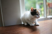 Young Calico Kitten on a Wooden Table in Front of a Window with Natural Light