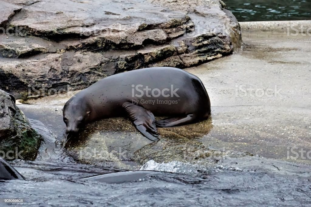 Young California sea lion looking into the water stock photo