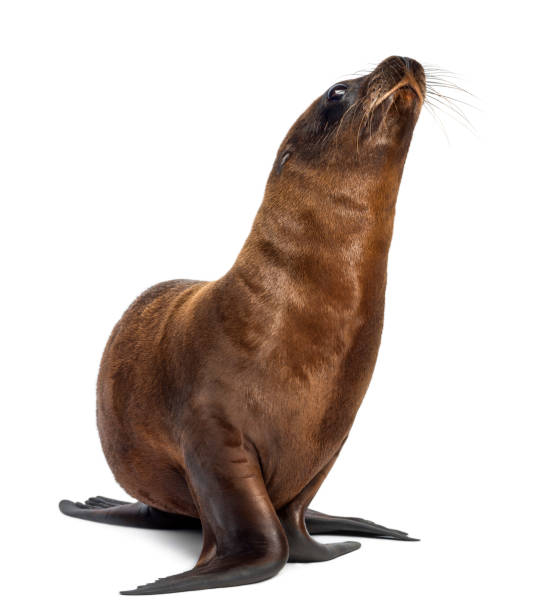 Young California Sea Lion, Zalophus californianus, 3 months old against white background Young California Sea Lion, Zalophus californianus, 3 months old against white background seal pup stock pictures, royalty-free photos & images