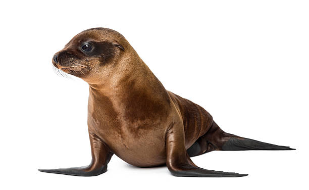 Young California Sea Lion, Zalophus californianus, 3 months old Young California Sea Lion, Zalophus californianus, 3 months old against white background seal pup stock pictures, royalty-free photos & images