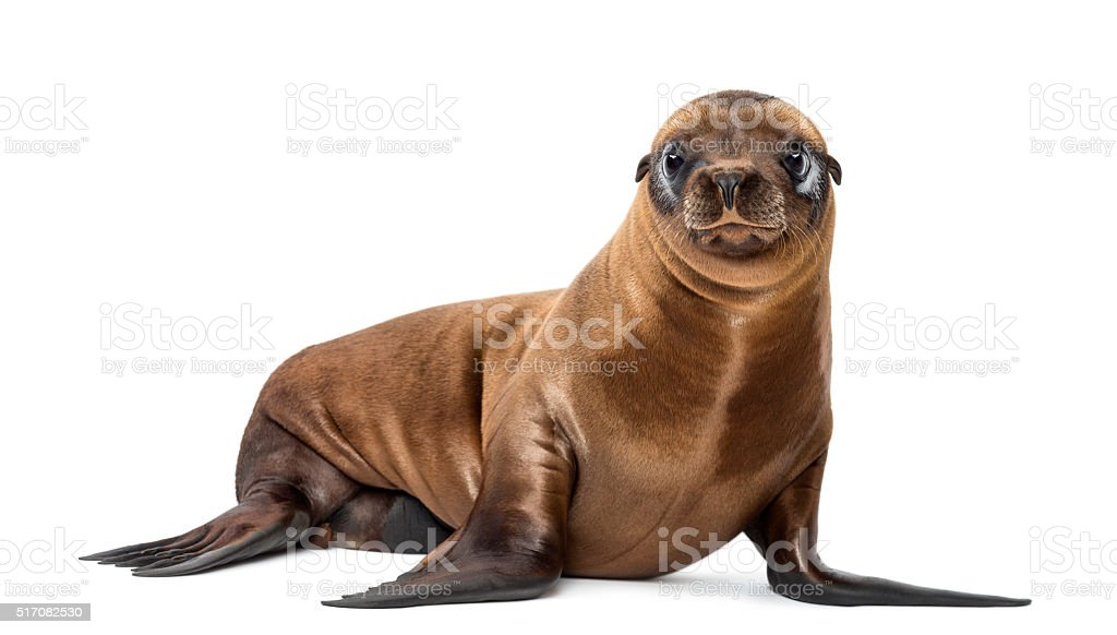 Young California Sea Lion, Zalophus californianus, portrait, 3 months old stock photo