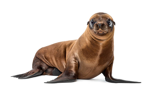 Young California Sea Lion, Zalophus californianus, portrait, 3 months old Young California Sea Lion, Zalophus californianus, portrait, 3 months old against white background seal pup stock pictures, royalty-free photos & images