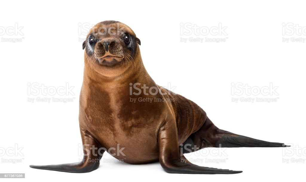 Young California Sea Lion, Zalophus californianus, portrait, 3 months old against white background stock photo