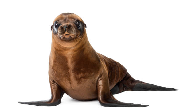Young California Sea Lion, Zalophus californianus, portrait, 3 months old against white background Young California Sea Lion, Zalophus californianus, portrait, 3 months old against white background seal pup stock pictures, royalty-free photos & images