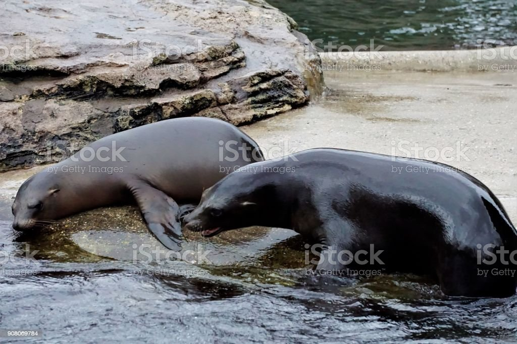 Young California sea lions playing around stock photo