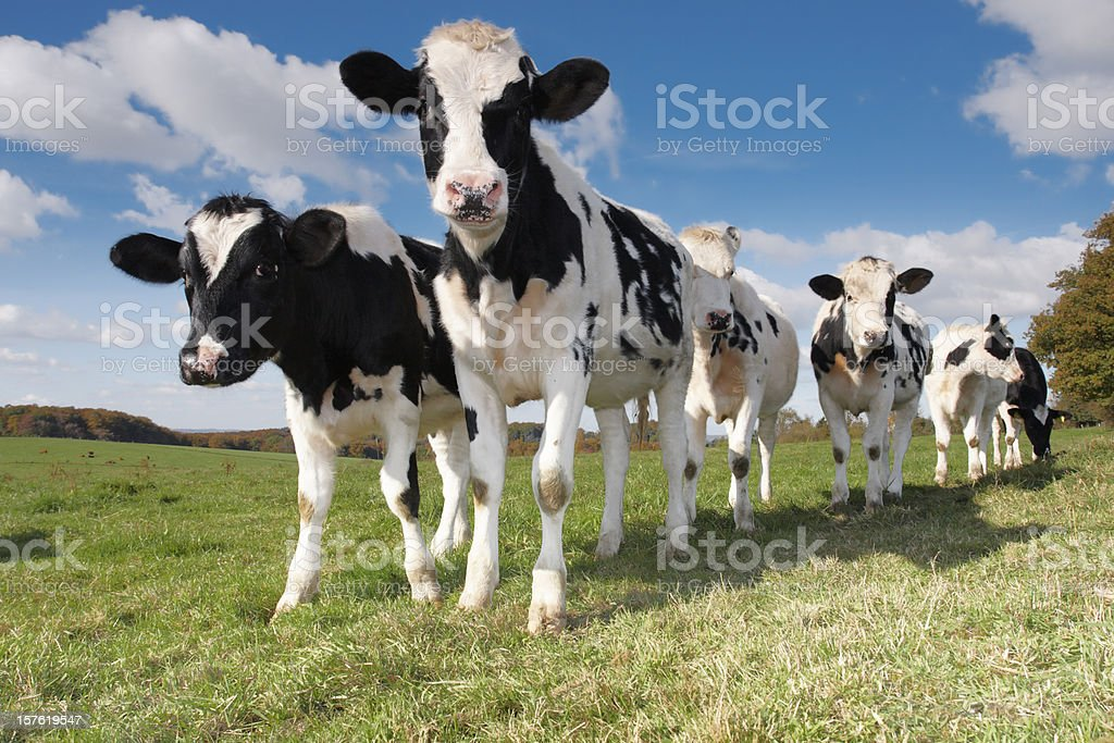 Young calves and cows on the field stock photo