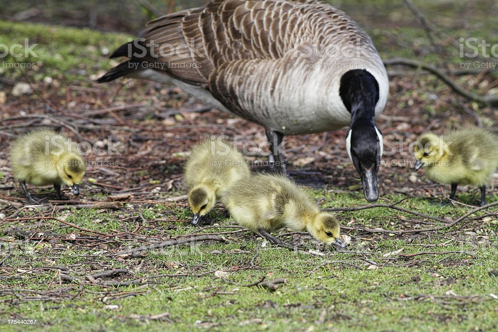Young Canada goslings feeding near attentive parent stock photo