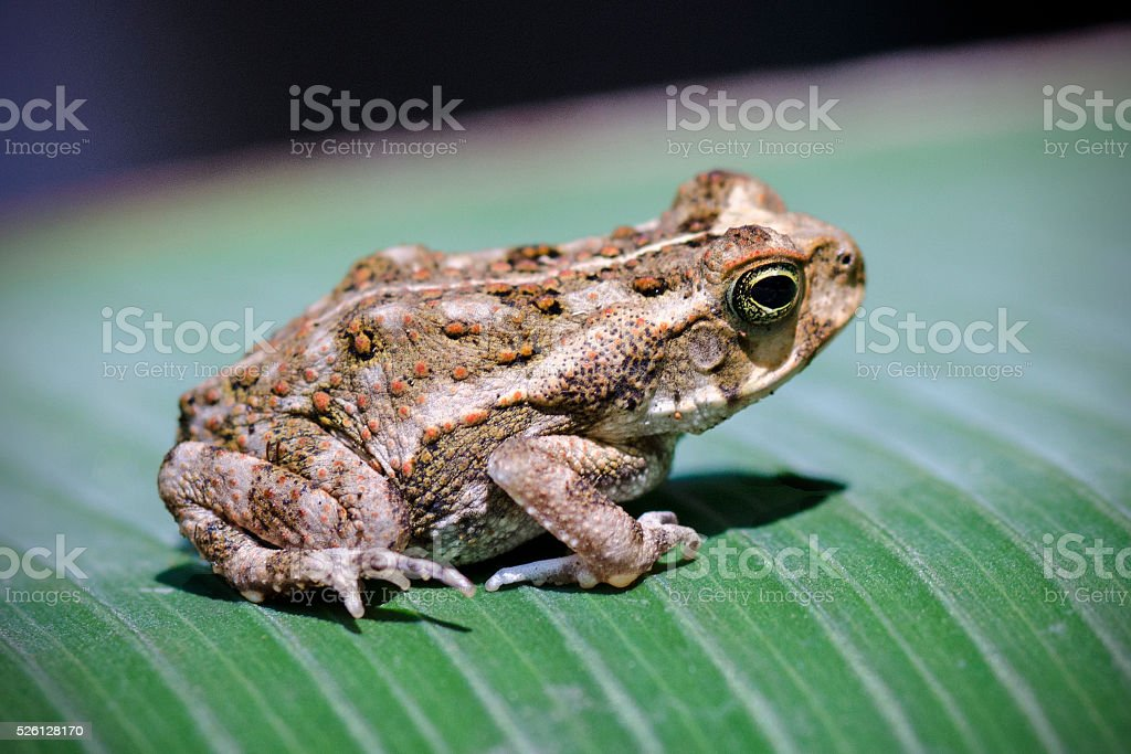 young cane toad, Bufo marinus stock photo