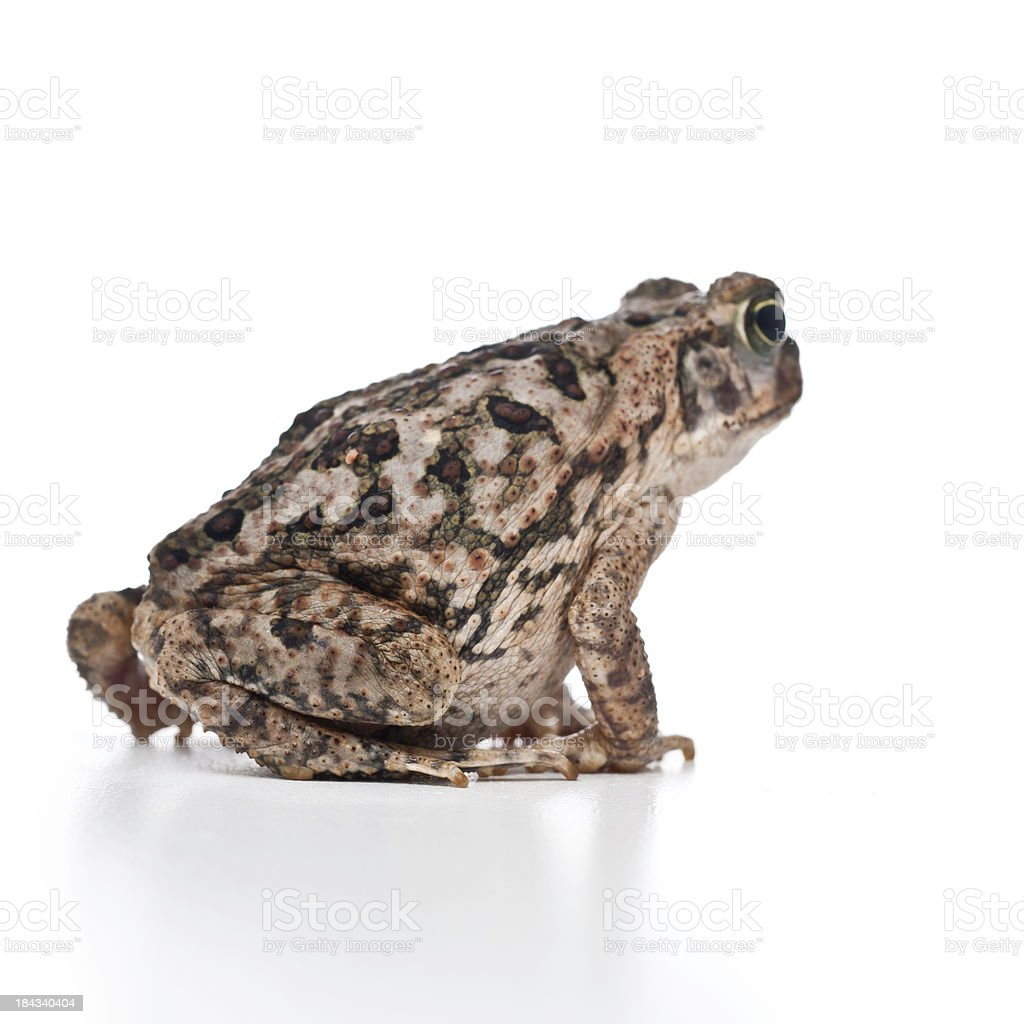 Young Cane Toad Or Bufo Marinus From Back Stock Photo More