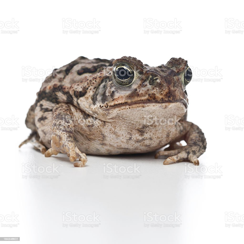 young cane toad portrait stock photo