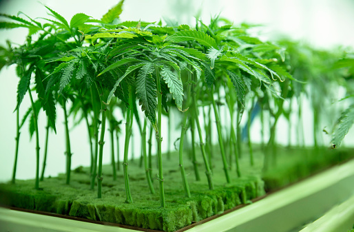 597927996 istock photo Young Cannabis Plant Clones Seedlings in Vegetation at Commercial Legal Marijuana Hemp Growing Business 1214966746